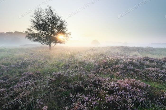 beautiful serene misty sunrise over meadows with flowering heath