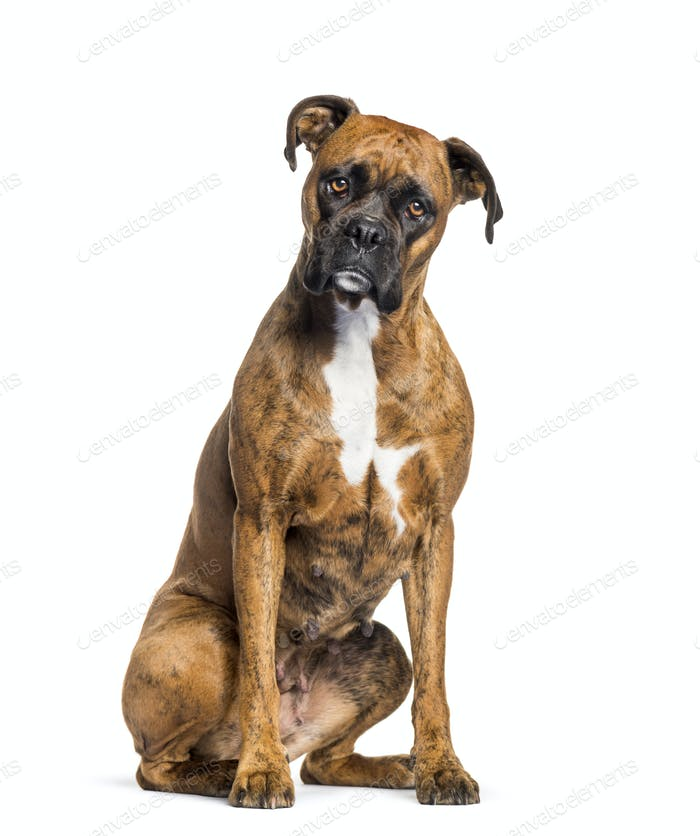 boxer sitting against white background