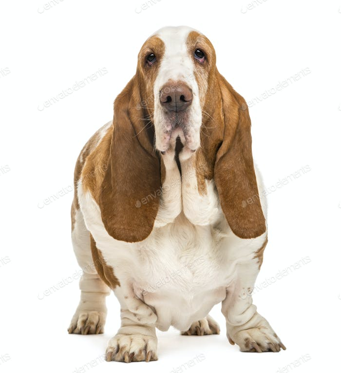 Basset Hound standing and looking at the camera, isolated on white