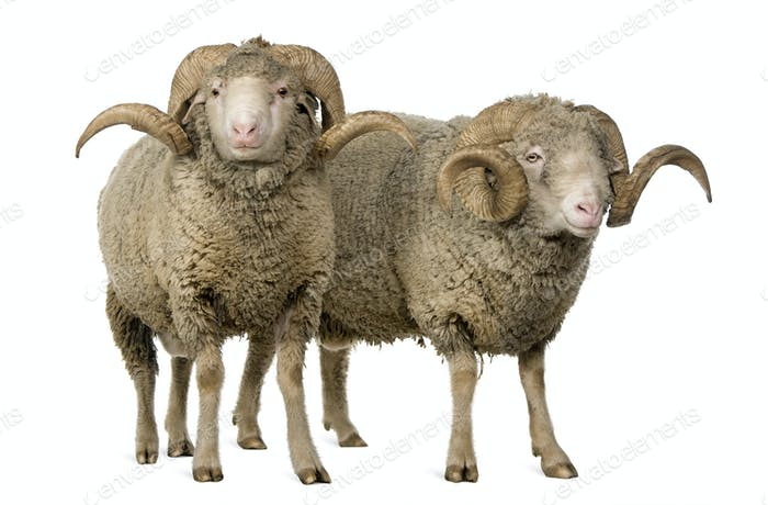Two Arles Merino sheep, rams, standing in front of white background