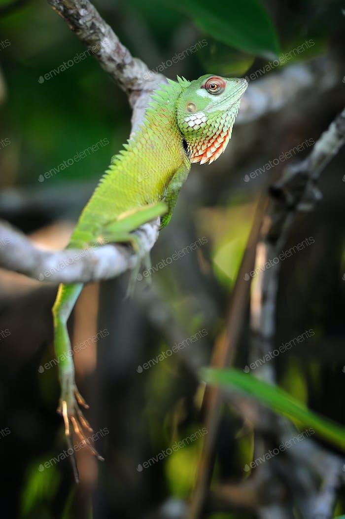 Chameleon at tree branch