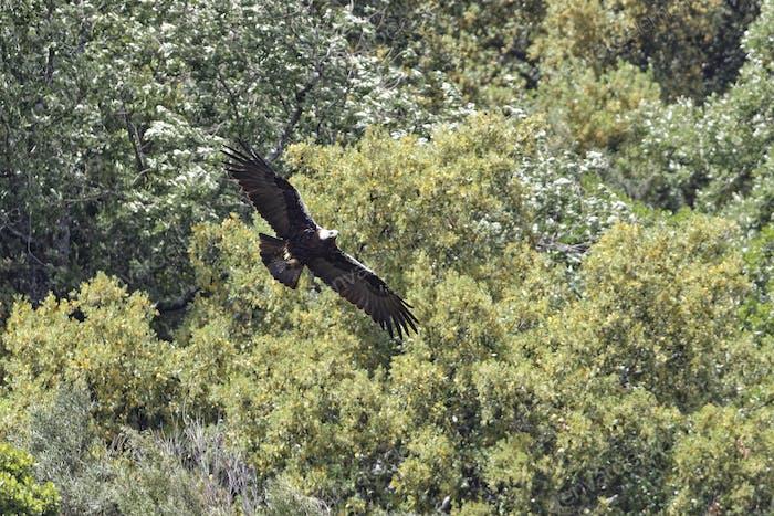 Spanischer Kaiseradler, Aquila adalberti, Spanish Imperial Eagle