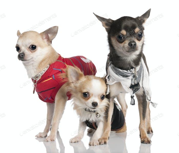 Group of three chihuahua