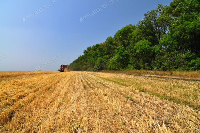Red combine harvester working in wheat field on sunny summer day