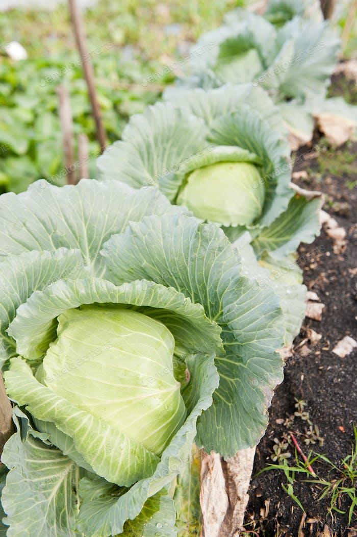 Cabbage Garden