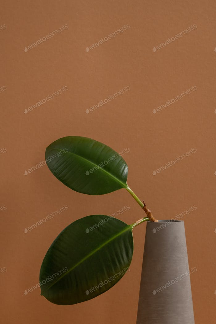 Two green thick leaves of domestic plant on thin branch in grey clay jug or vase