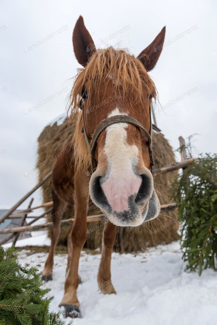 Brown horse in winter farm
