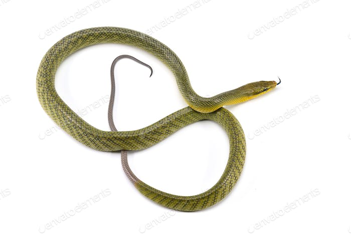 The red-tailed green ratsnake isolated on white background