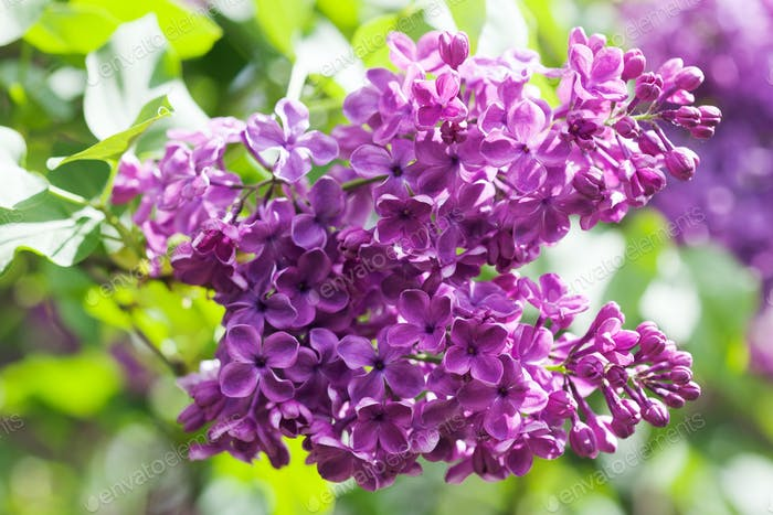 Macro view blossoming Syringa lilac bush.