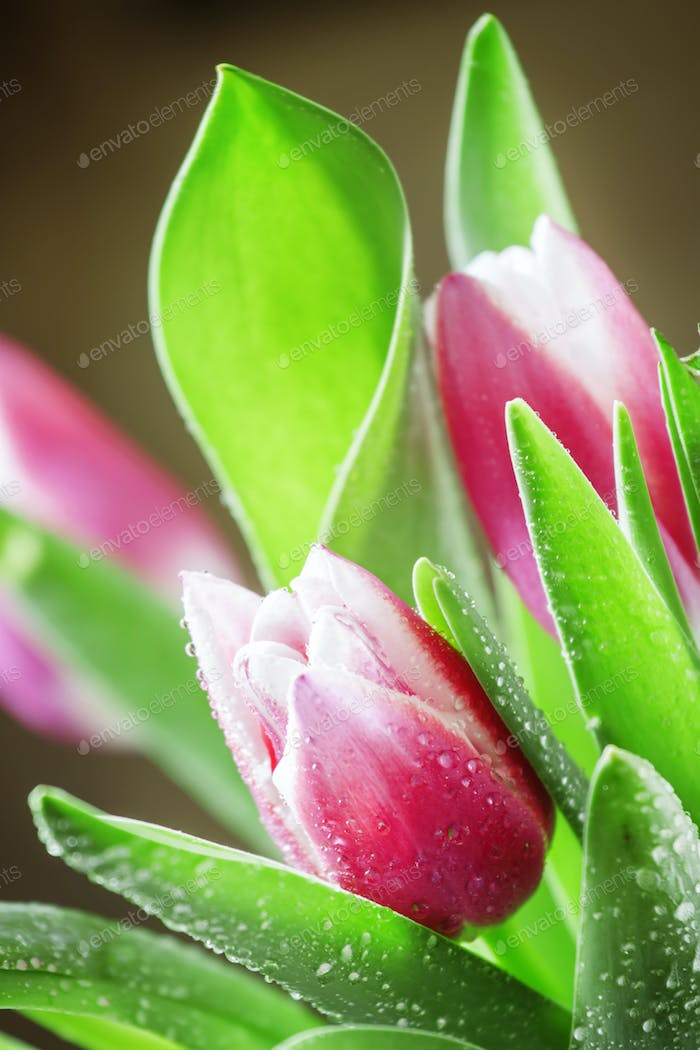 Bouquet of beautiful pink and white tulips