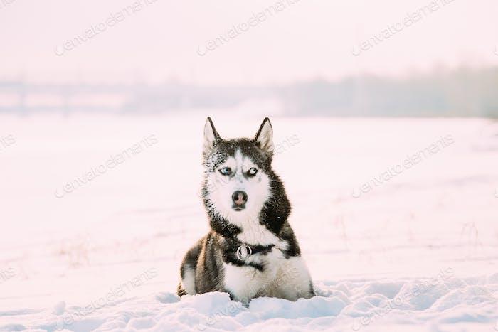 Siberian Husky Dog Sitting Outdoor In Snowy Park At Sunny Winter