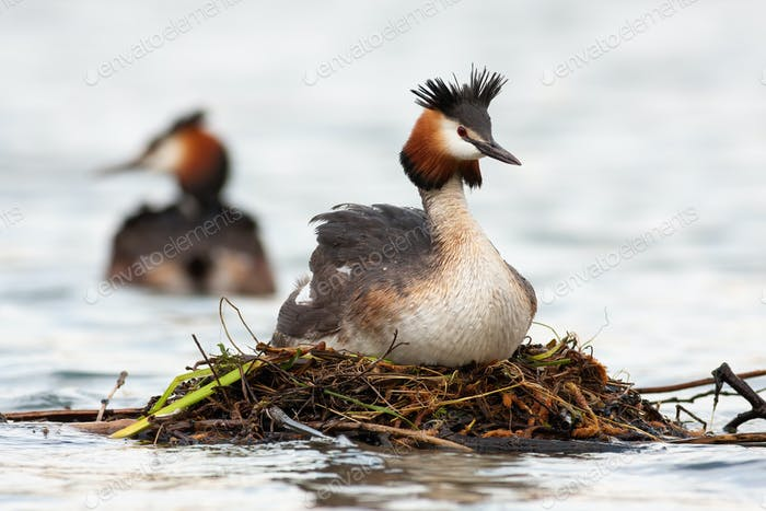 Great crested grebe floating on water in springtime