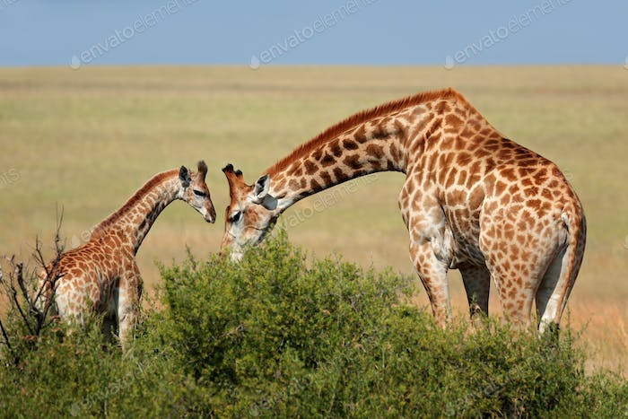 Giraffe cow and calf