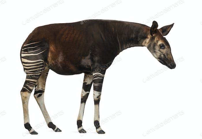 Seitenansicht eines Okapi stehend, Blick nach unten, Okapia johnstoni, isoliert auf weiß