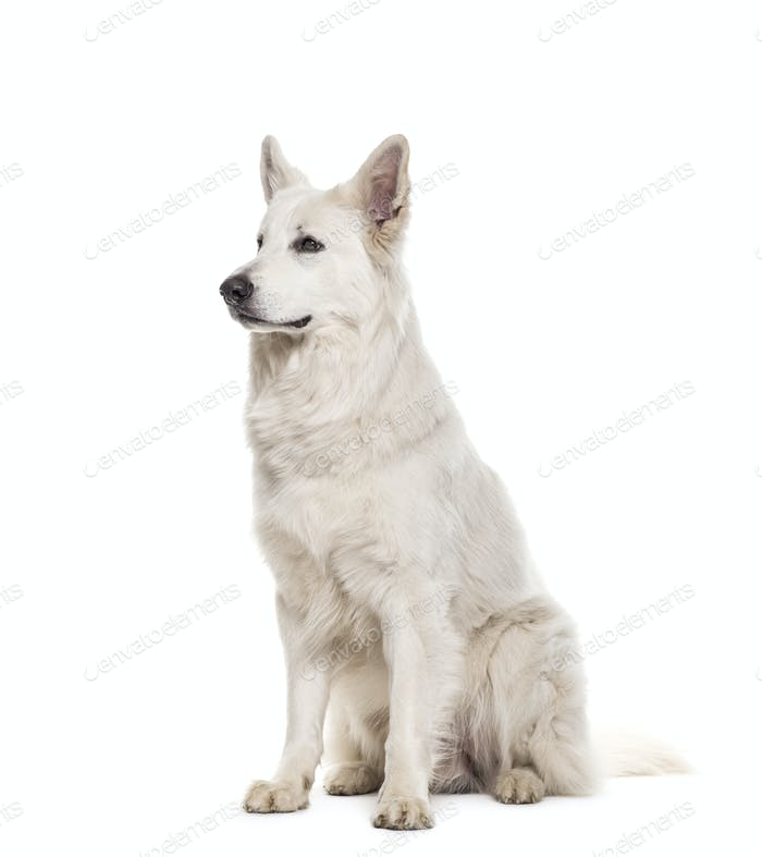 Swiss shepherd sitting, cut out