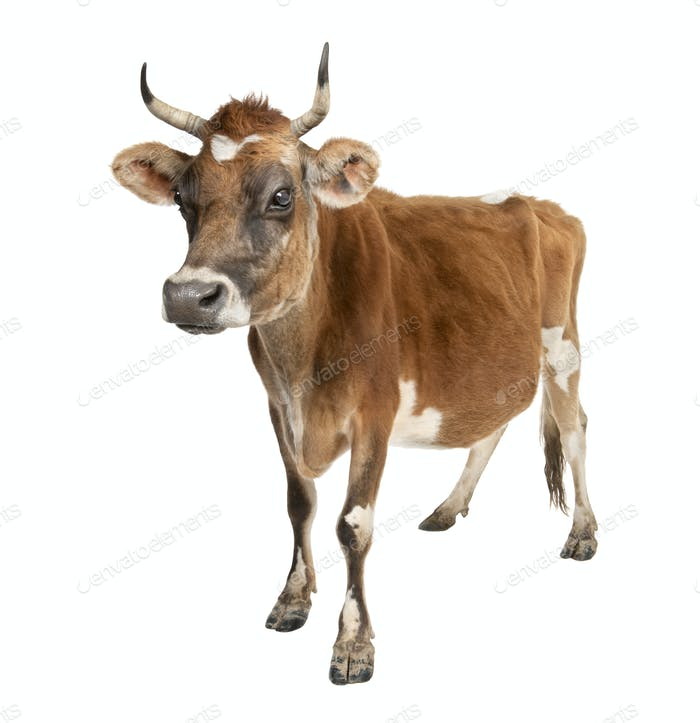 Jersey cow (10 years old)