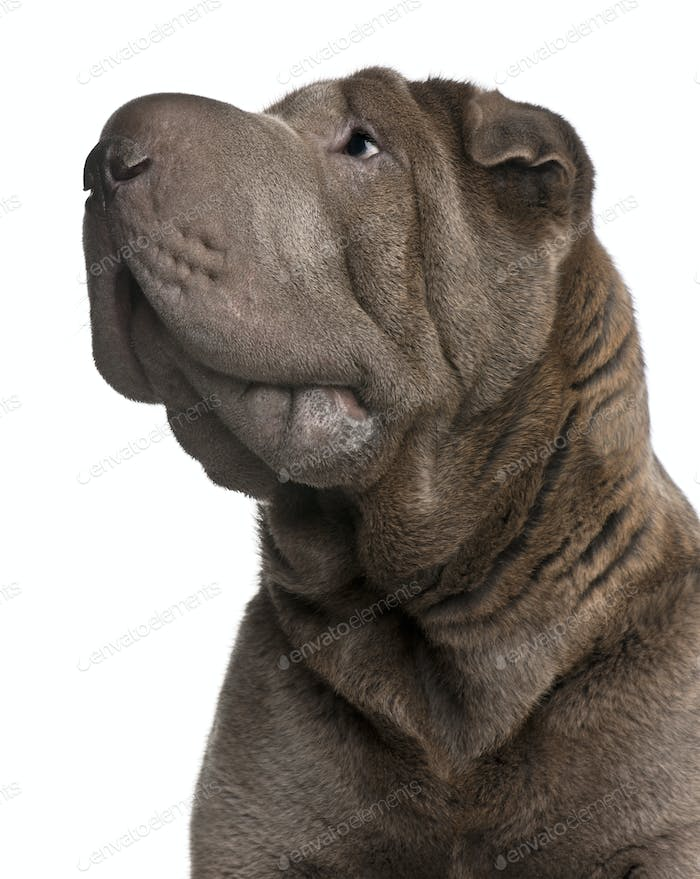 Shar Pei, 1 year old, in front of white background