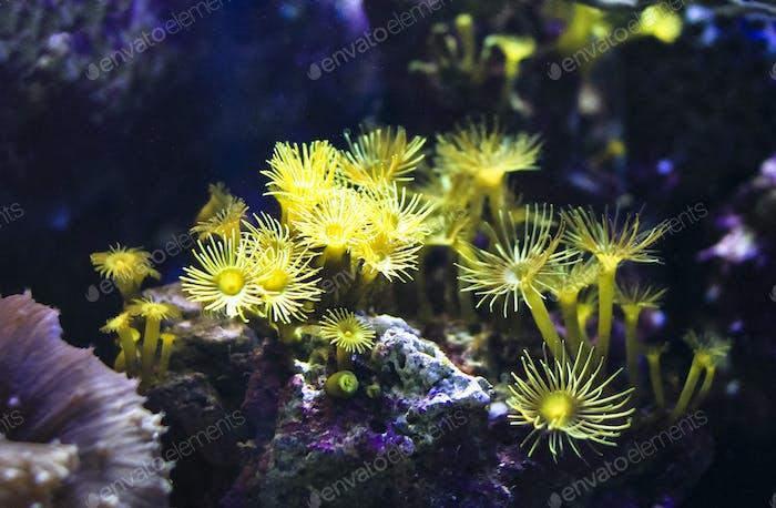 Kleine gelbe Anemonen