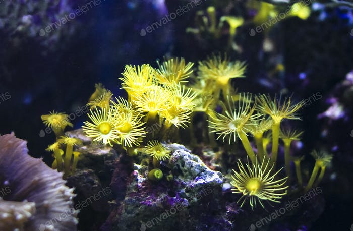 Small Yellow Anemones
