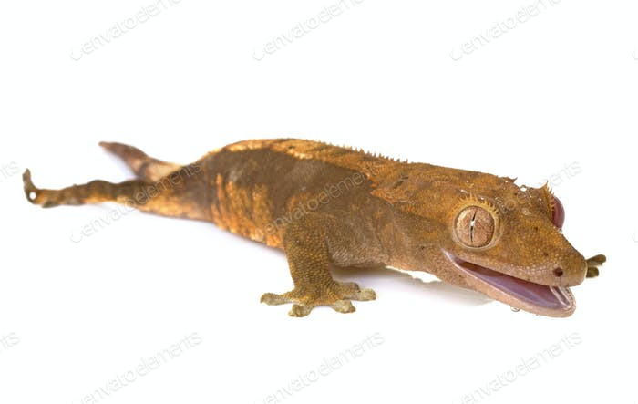 Crested gecko in studio