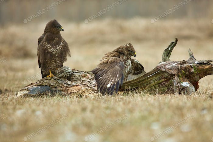 Two Common buzzards (Buteo buteo)