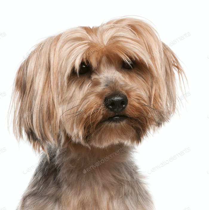 Yorkshire Terrier (5 years old), Yorkshire Terrier (2 years old)