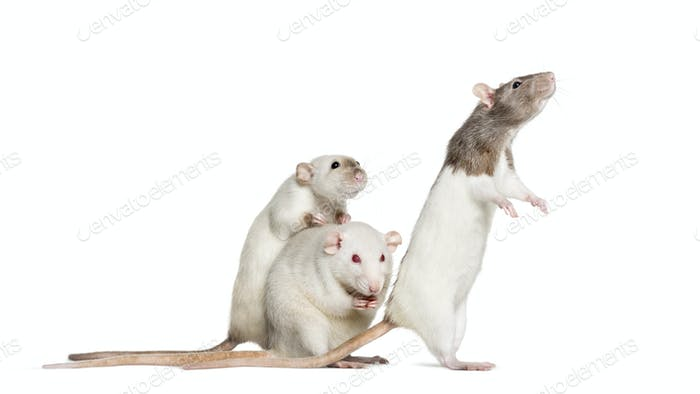 Domestic rats against white background
