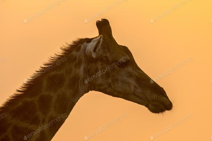Giraffe head silhouette in orange afternoon light