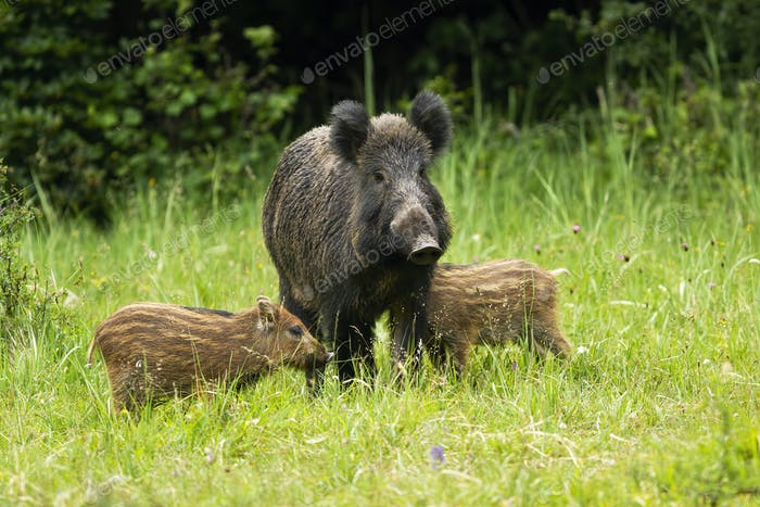 Wild boar herd standing close to each other in proximity
