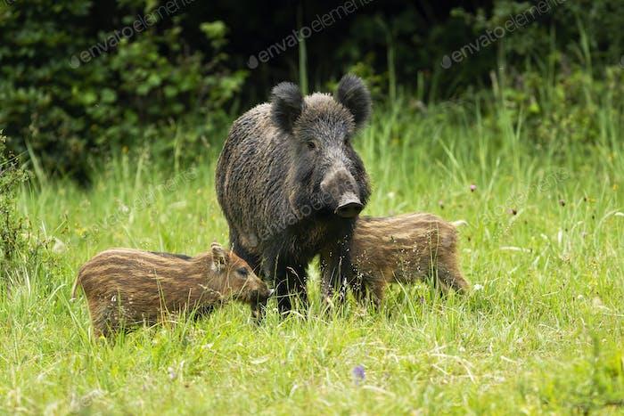 Wildschweinherde nahe beieinander in der Nähe