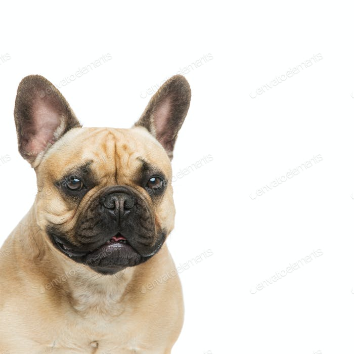 Hermoso perro bulldog francés