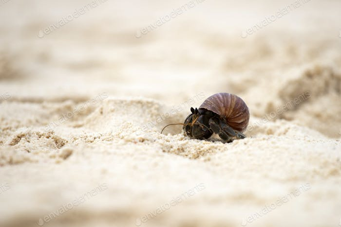 Hermit crab (Pagurus bernhardus) walking with his shell