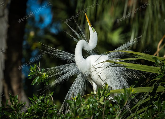 Great Egret in Florida