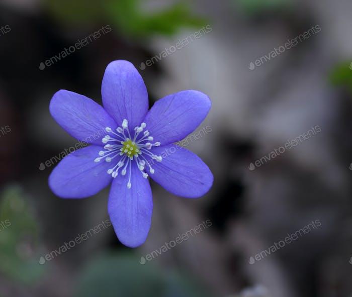 Snowdrop (Hepatica nobilis)