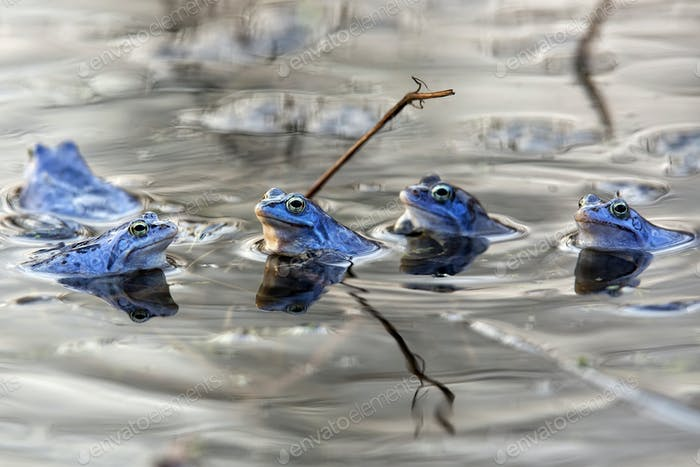 Thumbnail for Moor frogs on the lake
