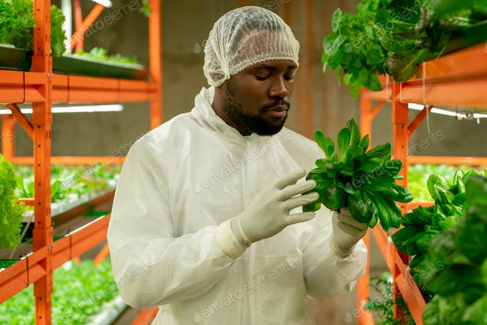 Contemporary agroengineer of African ethnicity holding green spinach seedlings