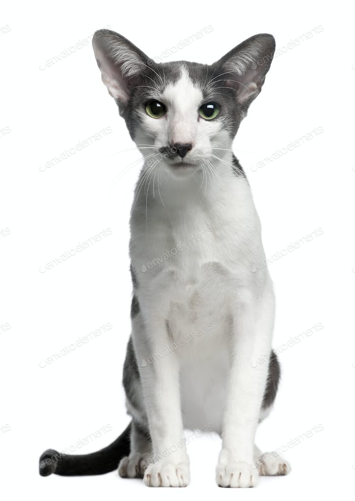 Oriental bicolor cat, 1 year old, sitting in front of white background