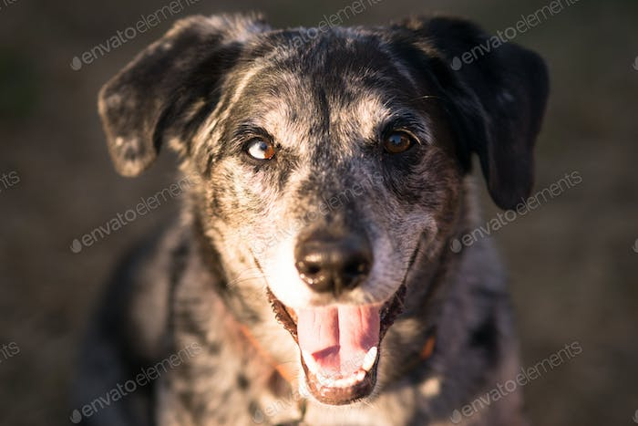 Mixed Breed Dog Canine Pet Headshot