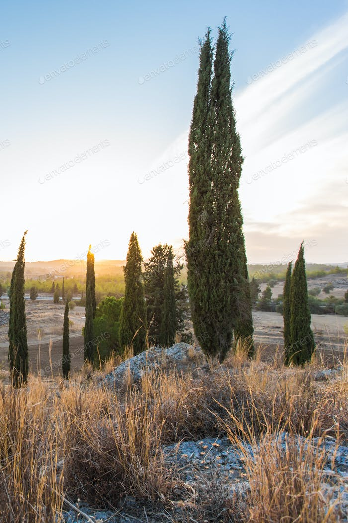 Group of Cypress Trees on a Hill at Sunset