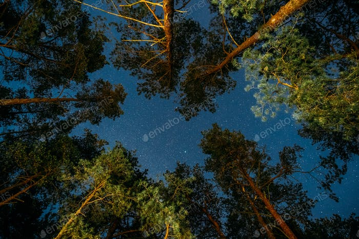 Natural Real Night Starry Sky Above Green Pine Trees In Forest P