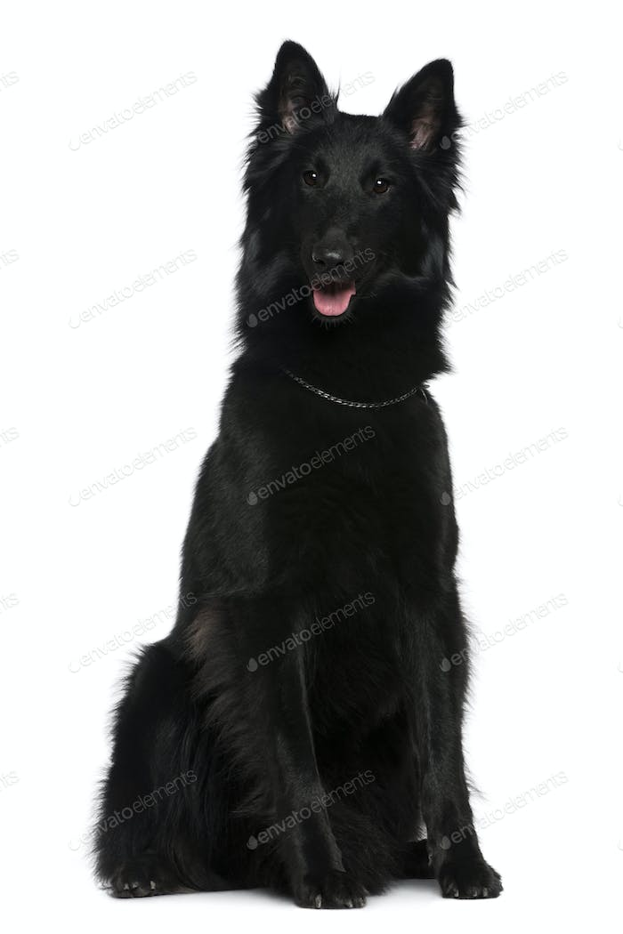 Belgian Shepherd dog, Groenendael, 21 months old, sitting in front of white background