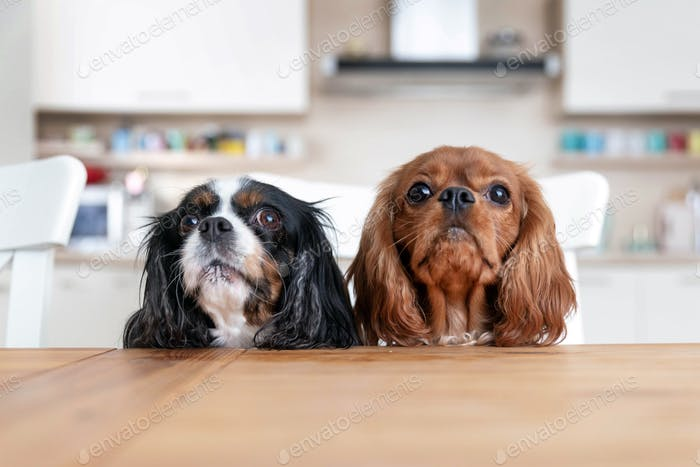 Zwei Hunde hinter dem Küchentisch