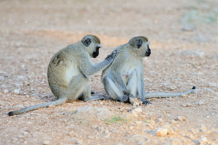 Two Vervet Monkey