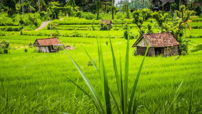 Two huts in Lush green Rice tarrace in Sidemen, Bali, Indonesia