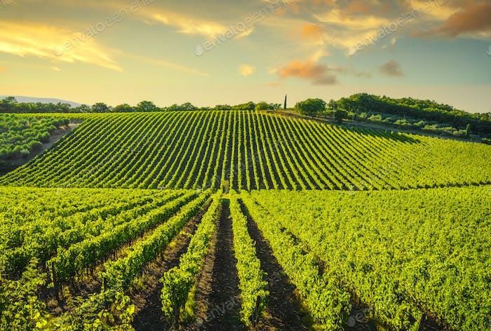 Vineyard at sunset. Castellina in Chianti, Tuscany, Italy