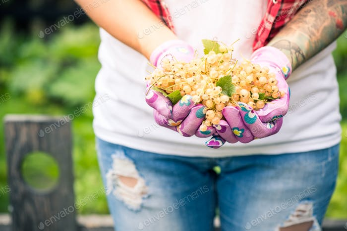 Female hands holding fresh white currant fruits in garden