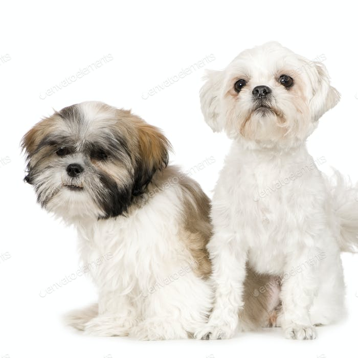 Shih Tzu and Lhasa Apso