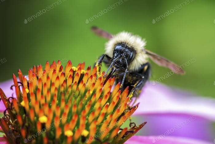 A bee feasting on the pollen of a flower with orange stamens.
