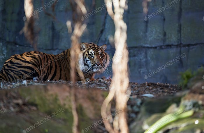 Tiger laying down and looking to right of frame