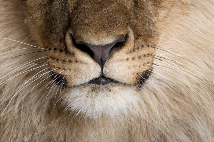 Nahaufnahme von Löwennase und Schnurrhaare, Panthera leo, 9 Monate alt